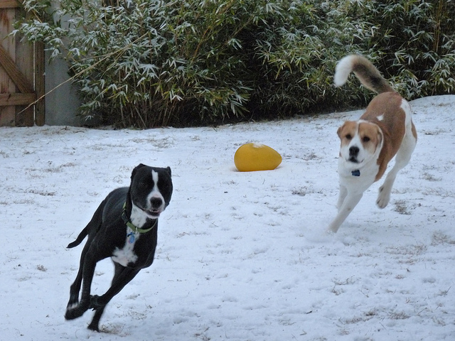 Callie and Sherman play in the snow