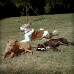 Clifford, Sherman and Callie sunbathing